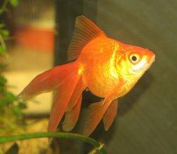 Золотая рыбка в ассорт.